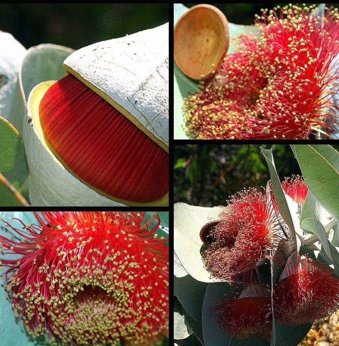 Эвкалипт розовоцветковый