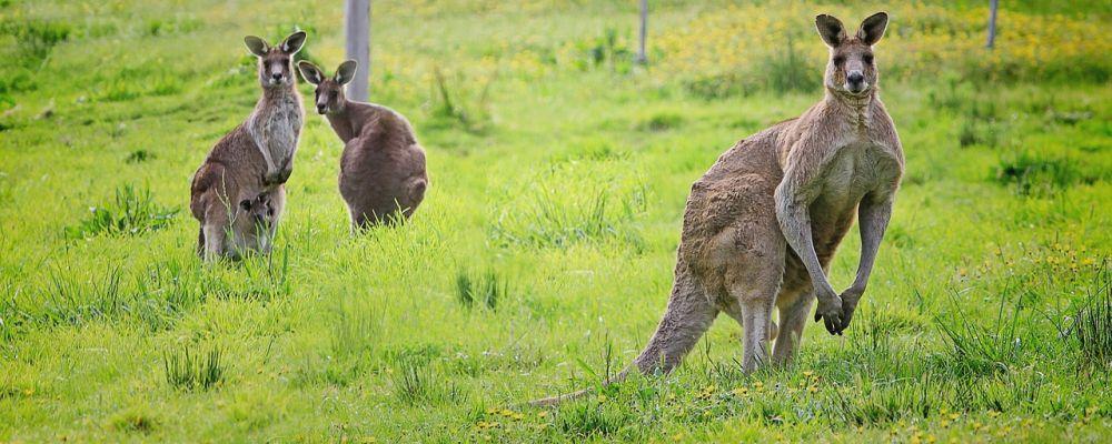 удивительные факты о кенгуру и других животных