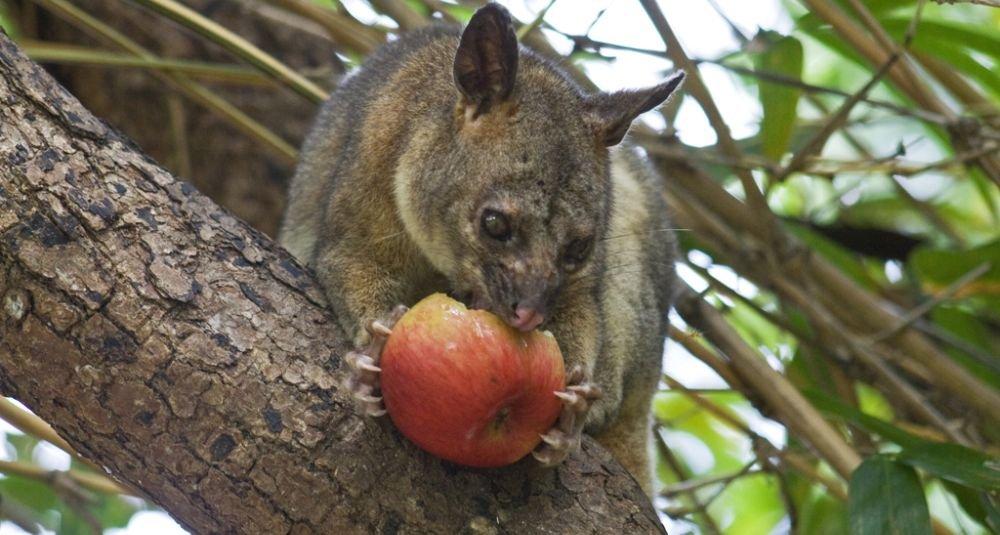 Кузу ест яблоко