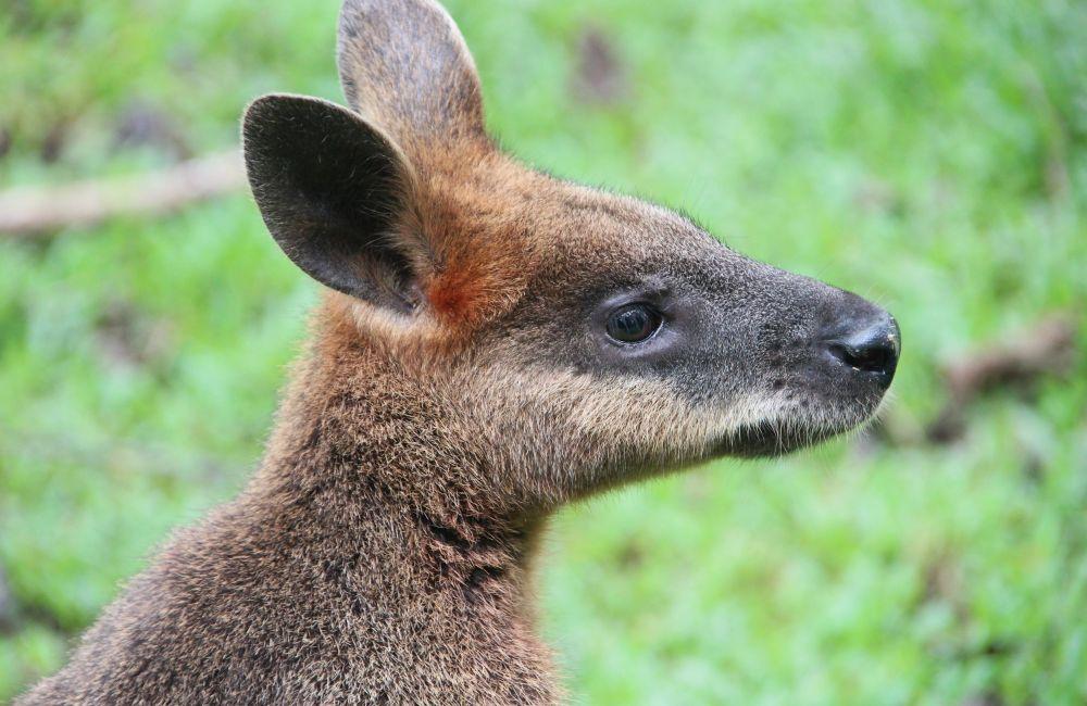 морда кенгуру