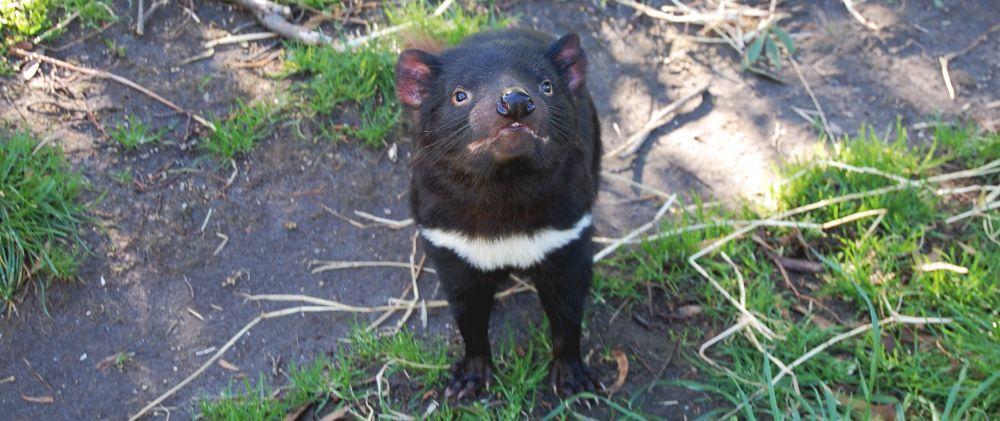 Тасманийский сумчатый волк